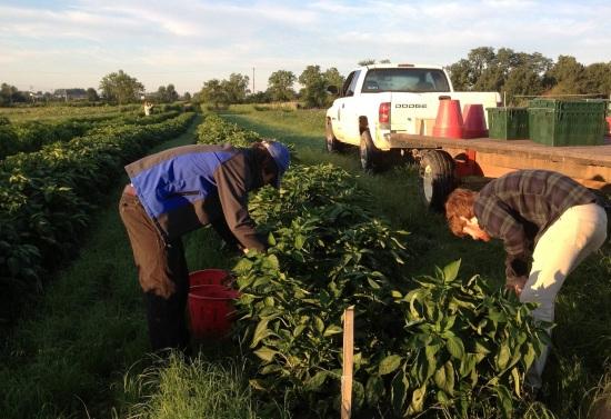 pepperharvest