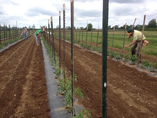 tyingtomatoes2015