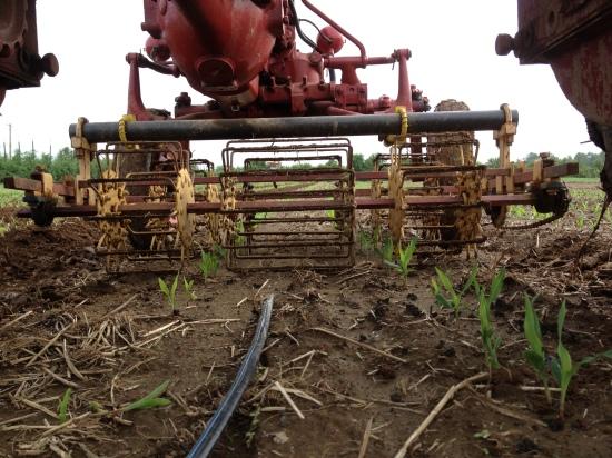 Basket weeding the corn