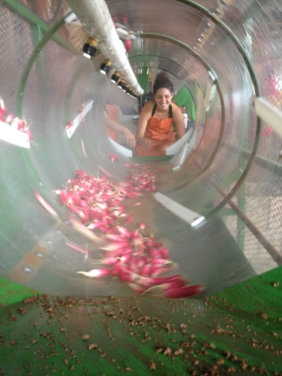 D'avignon radishes being washed in our barrel washer