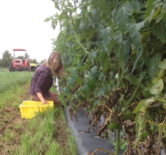 Savannah picking tomatoes.