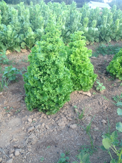 We've got some lettuce christmas trees in the whole sale fields.