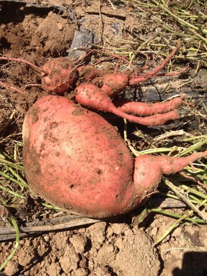 Big beautiful sweet potatoes!
