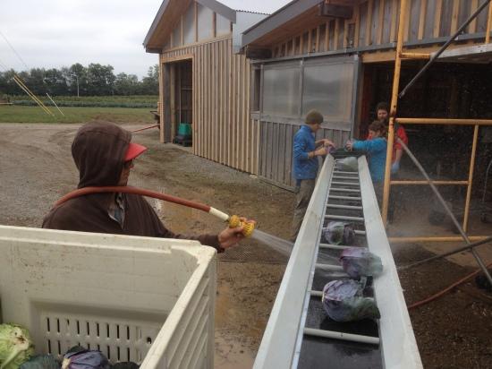 Washing the cabbage conveyor-style!