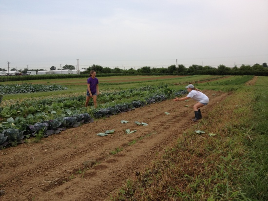 Chelsey on the left tossing cabbage earlier in the season to Elizabeth.