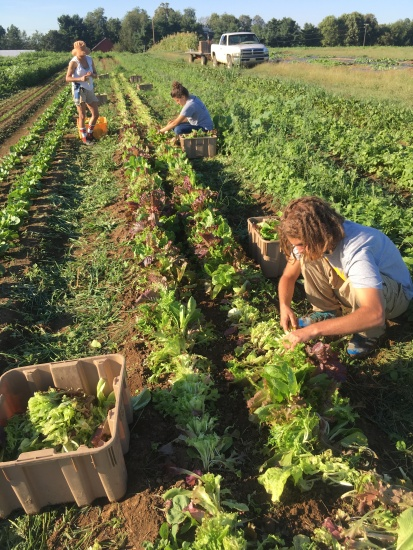 Here is Brandon, bottom right, harvesting lettuce mix from last week.