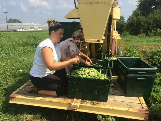 Whitney is sorting green beans on the green bean harvester.