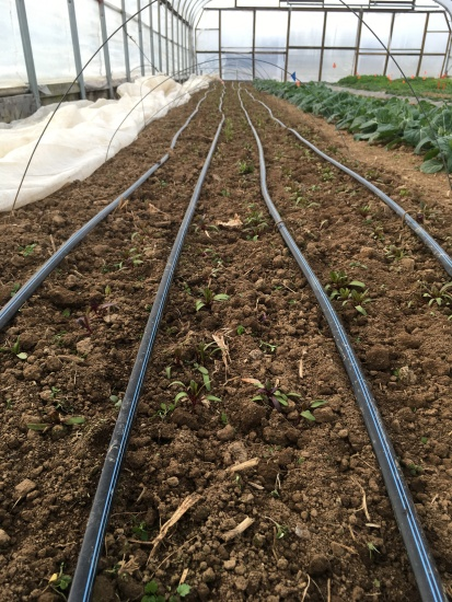 Baby Spinach growing in the tunnels.